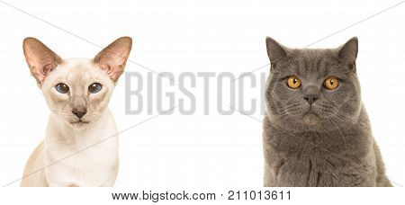 Duo portrait of two cats one siamese one british shorthair isolated on a white background