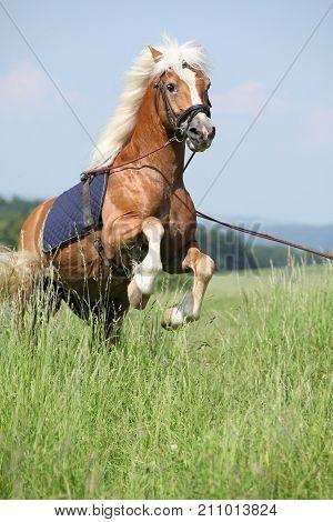 Amazing Haflinger Stallion Prancing In Beautiful Nature