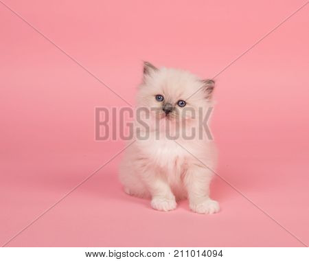 Cute sitting rag doll kitten baby cat on a pink background