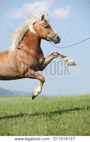 Amazing Haflinger Stallion Prancing In Front Of Nice Sky