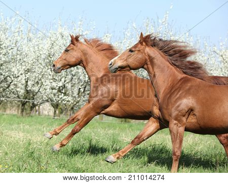 Two Quarter Horses Running Together In Spring
