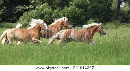 Batch Of Haflingers Running In Freedom