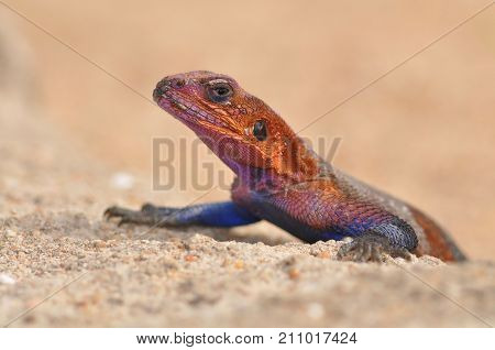 Portait of red-headed rock agama or rainbow lizard