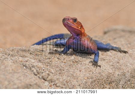 Colourful rainbow lizard agama from Tanzania resting on a wall