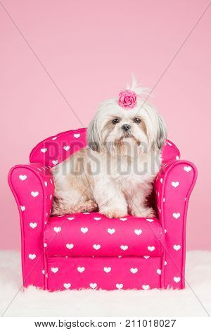Cute shih-tzu dog sitting on a pink chair wearing a pink bow at a pink background
