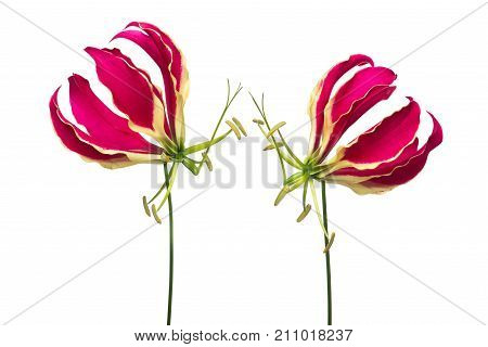 Two blooming gloriosa glory lilies at a white background