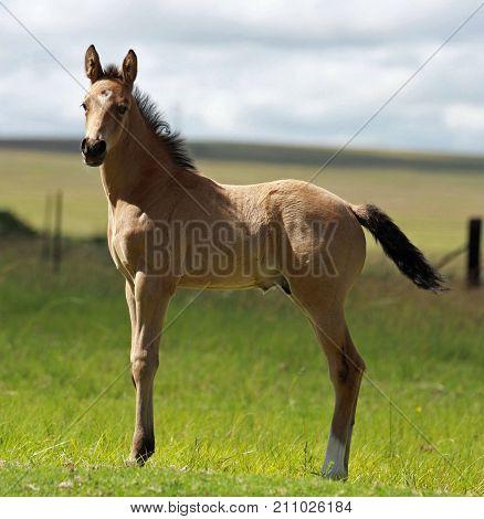 Young Buckskin foal standing in the meadow
