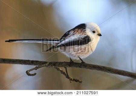 small bird with a long tail , wildlife, birds