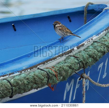 Little sparrow in blue boat background. Colorful traditional maltese boat