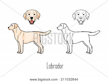Set of colorful and monochrome outline drawings of face and full body of yellow Labrador Retriever, front and side views. Playful companion dog, active pet animal. Zoological vector illustration