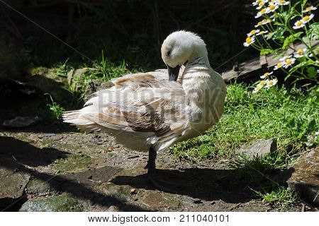 Duck preening in strong sunlight after bathing in a pond. This back yard domestic breed duck is a female Abacot Ranger also known as a Hooded Ranger.