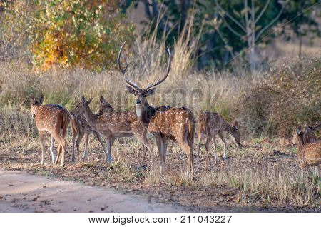 Beautiful image of group of deers front facing the camera at Panna National Park Madhya Pradesh India. Panna is located in Panna and Chhatarpur districts of Madhya Pradesh in India. It is a tiger reserve.