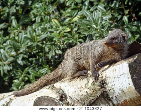 A mongooses is located on a white birch tree trunk in front of a green hedge in the sun and looking to the right there is a copyspace on the left hand side
