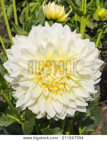 Large beautiful white Dahlia flowers in the flowerbed