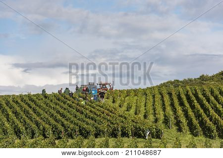 Verzy France - September 9 2017: Harvest of the grapes in the champagne area with people cutting pinot noir and chardonnay grapes in the vineyards at Verzy.