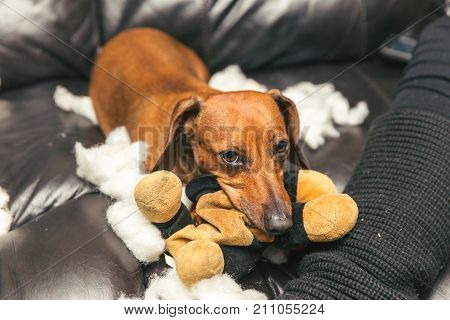 Cute Dachshund Destroying Stuffed Toy