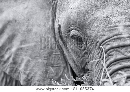 Elephant eye close-up with detail in a artistic conversion