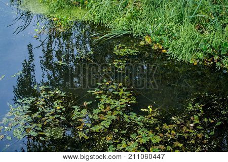 Forest lake covered with duckweed . .