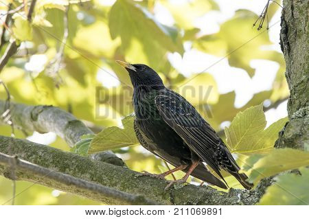 Bird on a tree. The common starling (Sturnus vulgaris) also known as the European starling. Starling sitting on a branch