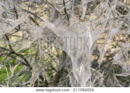 bush covered with ermine moth webs at spring time
