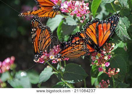 Monarch Butterfly at Desert Botanical Garden Phoenix, AZ