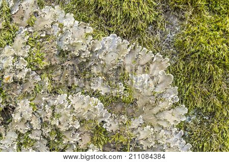 detail of a endangered lichen species named Scaly Dog Lichen