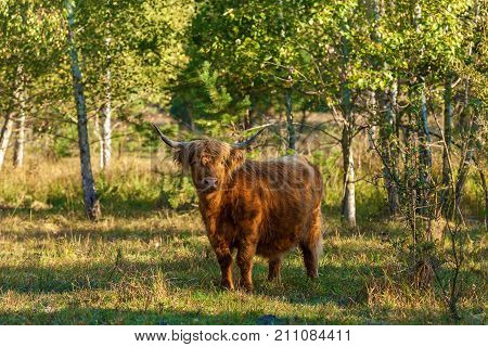 cows with long hair found in Switzerland. Those cows have long horns and long wavy coats that are coloured brown.