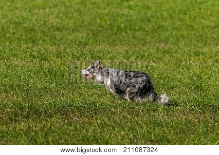 Stock Dog Full Out Run Left - at sheep dog herding trials