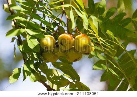 Sorbus domestica unripe fruits. Rowanberry fruit. Service tree