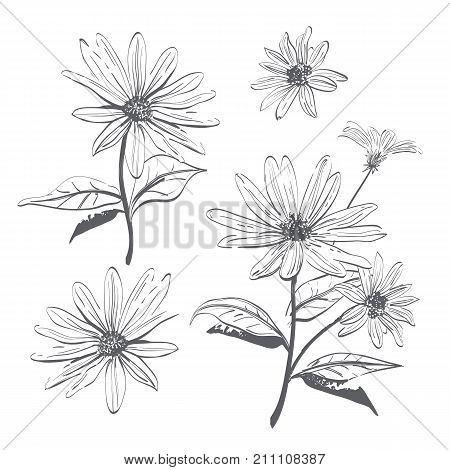 Vector drawing flowers hand-drawn chamomiles, daisies. Jerusalem artichoke flower. Botanical drawings, Coloring page, Flowers on white background