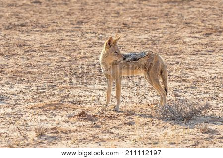 A Black-Backed Jackal in the Kgalagadi Transfrontier Park situated in the Kalahari Desert which straddles South Africa and Botswana.