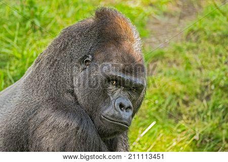 Portrait shot of a big western lowland gorilla.