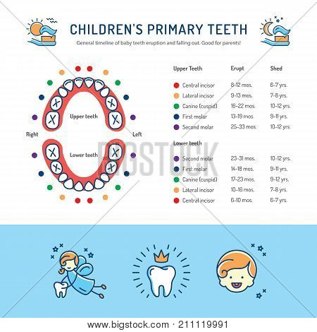 Children's Primary Teeth, Schedule of Baby Teeth Eruption. Baby mouth, Children's dentistry infographics Dental care thin line art icons. Vector flat illustration