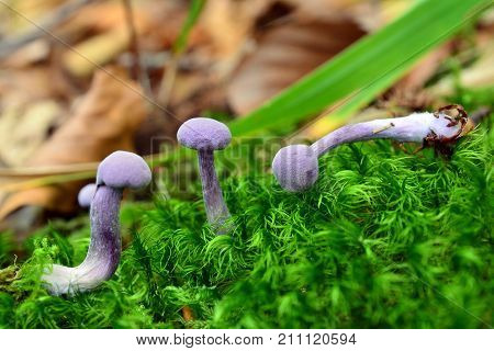 laccaria amethystina mushrooms in the forest amethyst deceiver