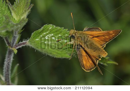 Large Skipper Butterfly - Ochlodes venata male poster