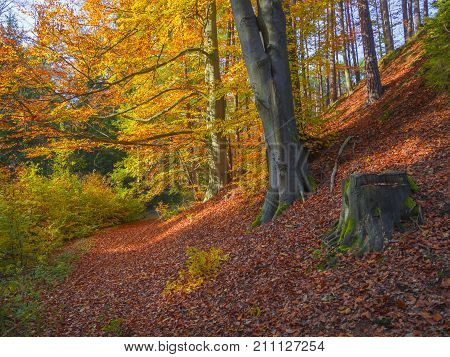 Colorful Autumn Deciduous Beech Tree And Spruce Tree Forest Ground Covered With Fallen Leaves