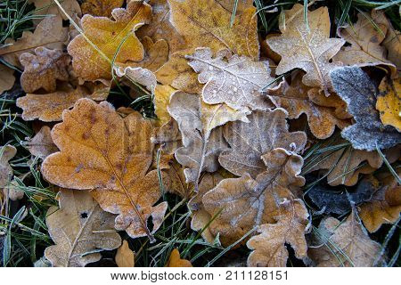 Frozen Oak Leafs. Hoarfrost On Withered Leaves.