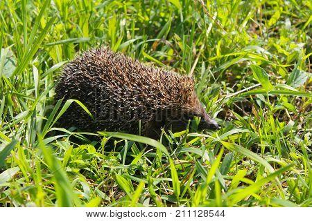 Hedgehog On Green Grass