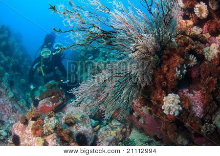 Hydroids Under Water In Sea Of Japan And Diver In Background