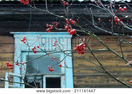 Red berries on a branch. Ice berries. Red berries in the snow. Rowan berries on a branch. The snow on the berries. Icicles on the branches. Mountain ash around the house