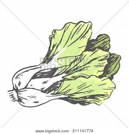 Romaine lettuce closeup vector illustration in graphic design. Isolated fresh vegetable having many green leaves with white root.
