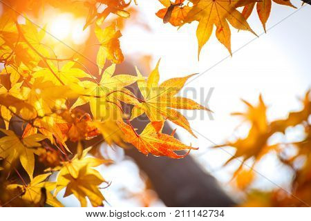 Autumn color change is season colorful with red and yellow leaves alternates beautiful nature bokeh background with sun light Kyoto Japan.