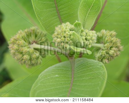 Asclepias syriaca, common thrush, butterfly flower, mulberry, silky swallow-must and virgin mulberry buds on the bush. Not dissolved green buds. Honey and medicinal plants in Europe.