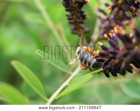Amorpha Fruticosa Or Desert False Indigo, False Indigo-bush, And