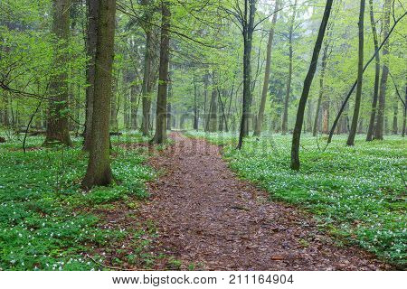 Floral bed of springtime anemone flowers in misty stand with footpath across, Bialowieza Forest, Poland, Europe