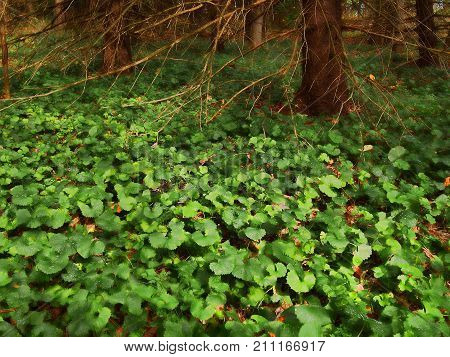 A cluff of clover under a tree in a forest
