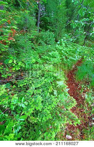 Ferns grow in the understory of a vivid green northwoods forest in Wisconsin.