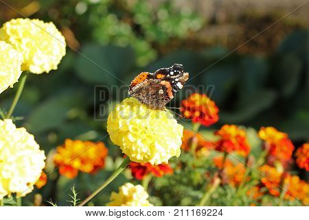 red admiral butterfly (Vanessa atalanta) on marigold flower