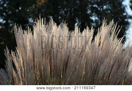 growth of nice ornamental grass enlightened with the evening light