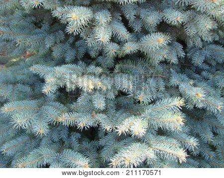 Photos Natural Background Branch Blue Spruce Growing In The Park. Shallow Depth Of Field